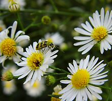 Lady Bug on White Heath Aster by WildestArt