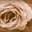 Rose by flashcompact