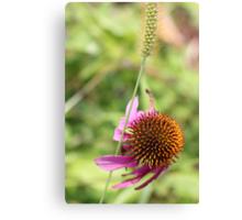 Cone Flower 3 Canvas Print