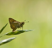 Perched on a grass seed by NaturalCultural