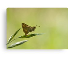 Perched on a grass seed Canvas Print
