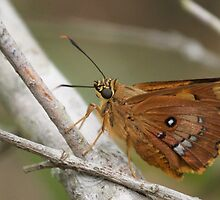 Splendid Ochre Butterfly by NaturalCultural