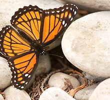 Viceroy Butterfly by NaturalCultural