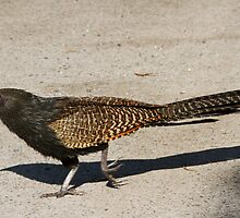 Stop The Traffic, Pheasant Crossing by byronbackyard