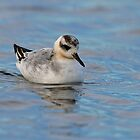 Grey Phalarope by Trevsnature