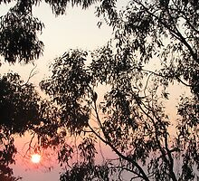 Dawn through the gum trees in Croydon by Neroli Wesley