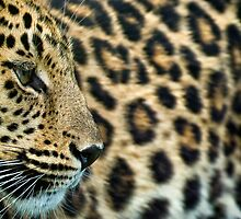 Amur Leopard (Panthera pardus orientalis) by Mark Kenwood