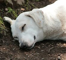 White Dog Sleeping by rhamm