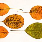 Cotinus Coggygyria / Smoke Bush leaf study #1 by Christopher Cullen