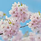 Japanese Flowering Cherry Blossom by Jacky Parker