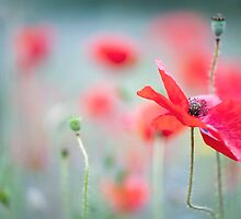 Field Poppy by Jacky Parker