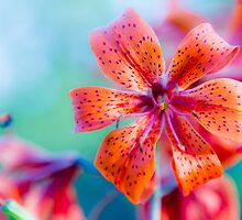 Orange lilly on green. by Timothy Munro