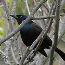 Grackle by Marie Van Schie