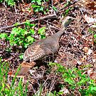Wild Turkey by RickDavis