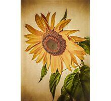 Vintage Sunflower Photographic Print
