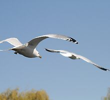 Seagulls in Flight by csilva