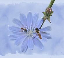 Chicory Wildflower - Cichorium intybus by MotherNature2
