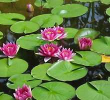 Water Lilies by Kathie  Chicoine
