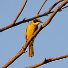 Yellow-tufted Honeyeater at sunset by mosaicavenues