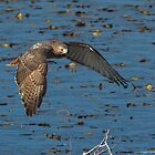 Red-tailed Hawk - Horseshoe Pond - Concord, NH 11-13-13 by David Lipsy
