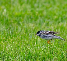 1031 Spring Adult Male Blackpoll Warbler - Star Island 05-24-13 by David Lipsy