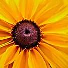 Black-Eyed Susan Detail by AlexandraZloto