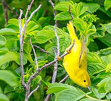 Spring Adult Female Northern Yellow Warbler - Star Island. 05-24-13 by David Lipsy