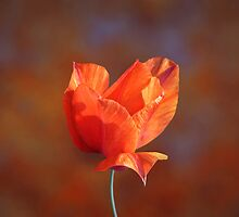 La Tulipa'... by Valerie Anne Kelly