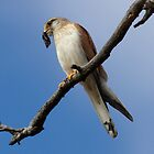 Nankeen Kestrel  with Moth  by Kym Bradley