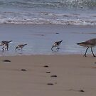 Little Tern Family by Liz Worth