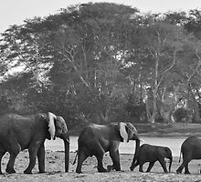 The Elephants Go Marching One by One... by Luke Poyser
