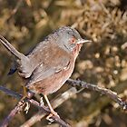 Dartford Warbler by Alan Forder