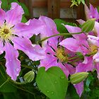 Raindrops On Clematis by Fara