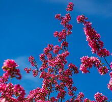Spring Blossoms Reach for the Sky - Concord, NH 05-08-13 by David Lipsy