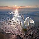 Swan Sunset by Igor Zenin