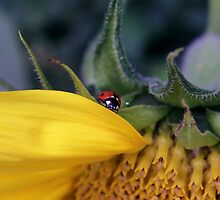 Ladybug on a Sunflower by Ray van Halen