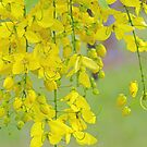 Golden Yellow Blossoms (Cassia Fistula Tree) by Kerryn Madsen-Pietsch