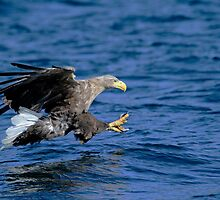 White Tailed Sea Eagle by Richard Greenwood