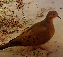 Mourning Dove by PineSinger