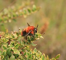 Red Bee on a Leaf by rhamm