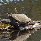 Huge Snapping Turtle with Painted Turtles - Candia NH, 04-28-16 by David Lipsy