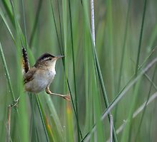 Marsh Wren by Heather Pickard
