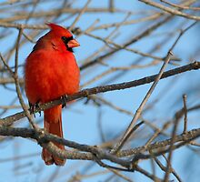 Bold Northern Cardinal by Heather Pickard