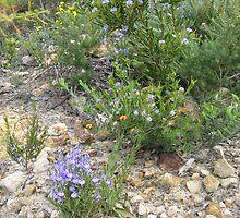 Wildflowers    Lesueur N.P.  Jurien Bay by PeterJF