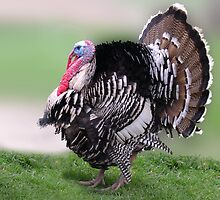 GOBBLE THE GOBBLER DAY   Happy Thanksgiving! by Peter Stratton