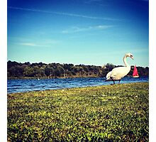 Swan over Boat Photographic Print