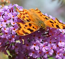 Butterfly on purple flower by geoffford