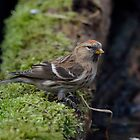 Common redpoll by Peter Wiggerman