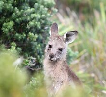 South Coast Joey by ozscottgeorge