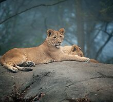 Lion Cubs by Dana Horne
